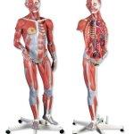 3B-Scientific-Dual-Sex-Muscle-Figure-0