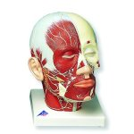 3B-Scientific-VB129-Head-Musculature-Additionally-with-Nerves-Model-9.4-x-7.1-x-9.4-0
