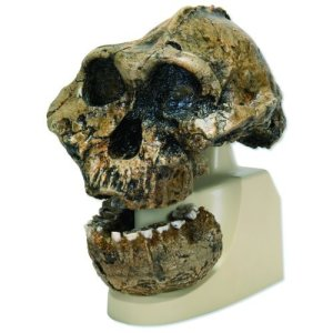 3B-Scientific-VP7551-KNM-ER-406-Omo-L.-7a-125-Anthropological-Skull-Model-7.1-x-7.1-x-8.9-0