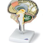 3B-Scientific-W19026-Brain-Section-Model-with-Medial-and-Sagittal-Cuts-9.8-x-7.1-x-4.7-0