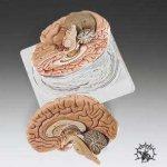 Brain-2-part-Model-Natual-Cast-0