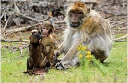 This image shows an adult Barbary Macaque monkey with two juvenile Macaque monkeys playing.