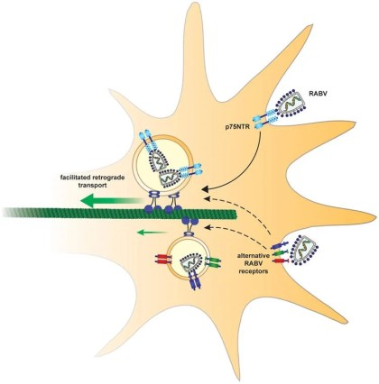 This illustration shows how the rabies virus could hijack a neuron.
