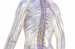 This image shows an illustration of the spinal cord.