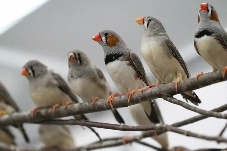This image shows zebra finches sitting on a branch.