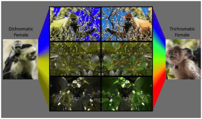 The image shows how vision is processed in primates.
