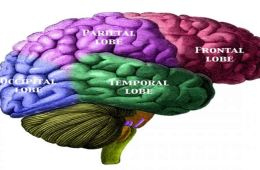 The image shows a diagram of the human brain with the different lobes color coded.