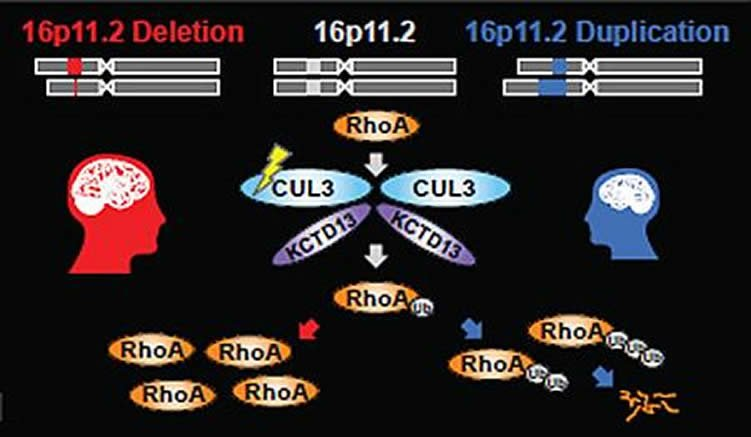 This illustration shows how the mutations influence the rhoa pathway.