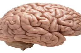 This image shows a model of a brain.