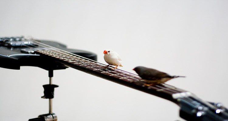 The image shows two zebra finches sitting on a guitar.