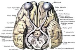 Images shows the human visual system.