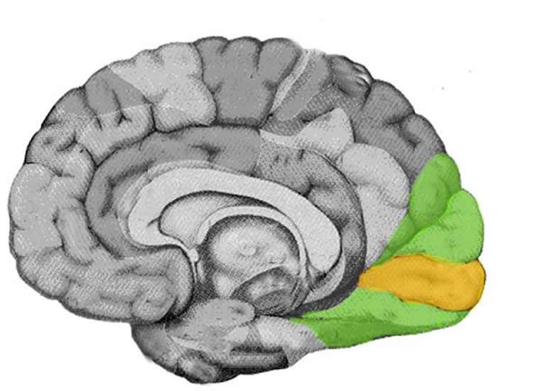 Notes: Vision |Visual Cortex