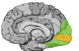 Images shows the location of the visual cortex in the brain.