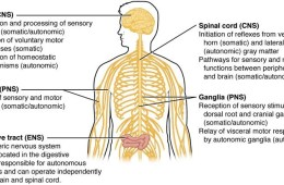 This is a diagram of the CNS with all the parts of the body and functions labeled.