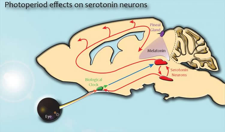 This image shows the links between the brain's serotonin system, circadian clock and pineal gland.