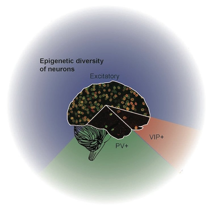 The Epigenetic Diversity of Neurons