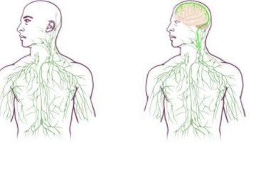 This shows the maps of the lymphatic system: old (left) and updated to reflect UVA's discovery.