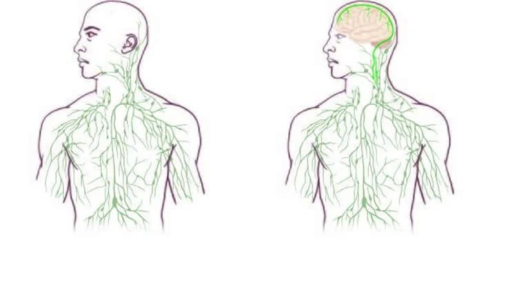 Researchers Find Missing Link Between the Brain and Immune System ...