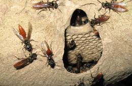 This image shows wasps and a wasp nest.