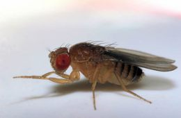 This image shows a fruit fly.