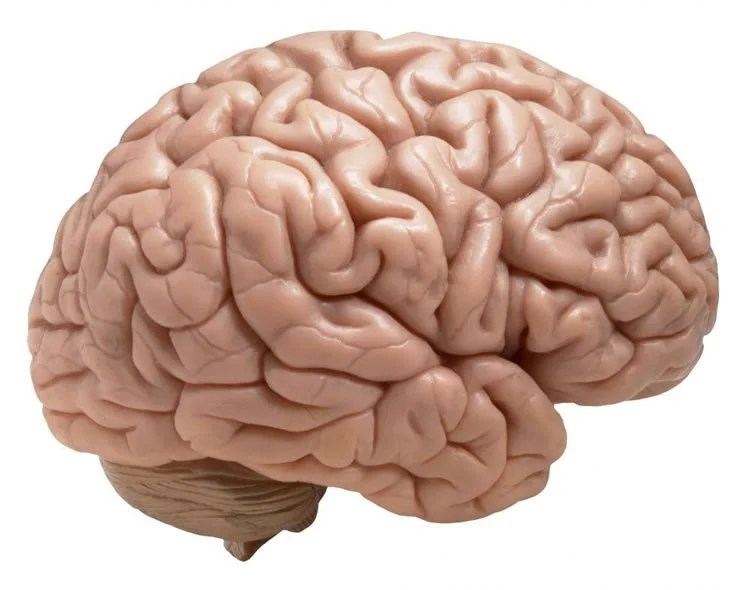 This Is A Model Of The Brain