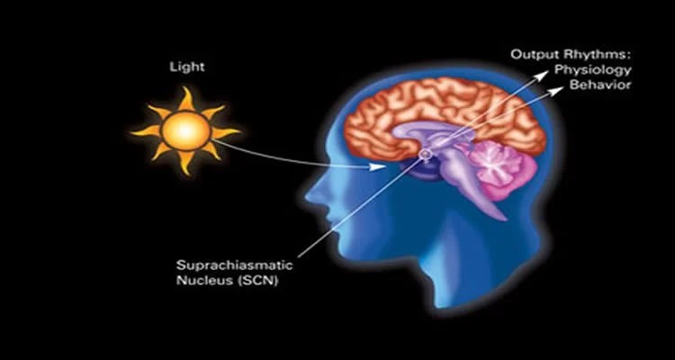 This image shows how light affects the suprachiasmatic nucleus in the circadian cycle.