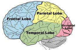 Image shows a brain with the different lobes labeled.