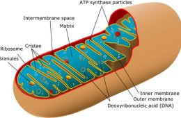Labeled diagram of mitochondria.
