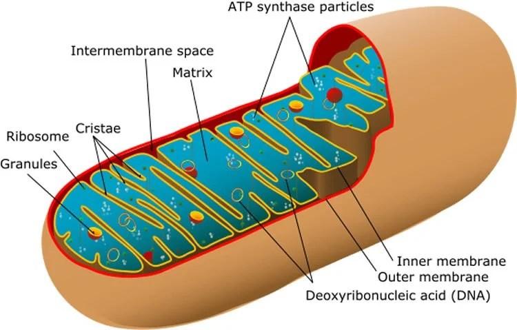 Depleted Atp Levels Causes Neural >> Depleted Atp Levels Causes Neural Dysfunction In Model Of