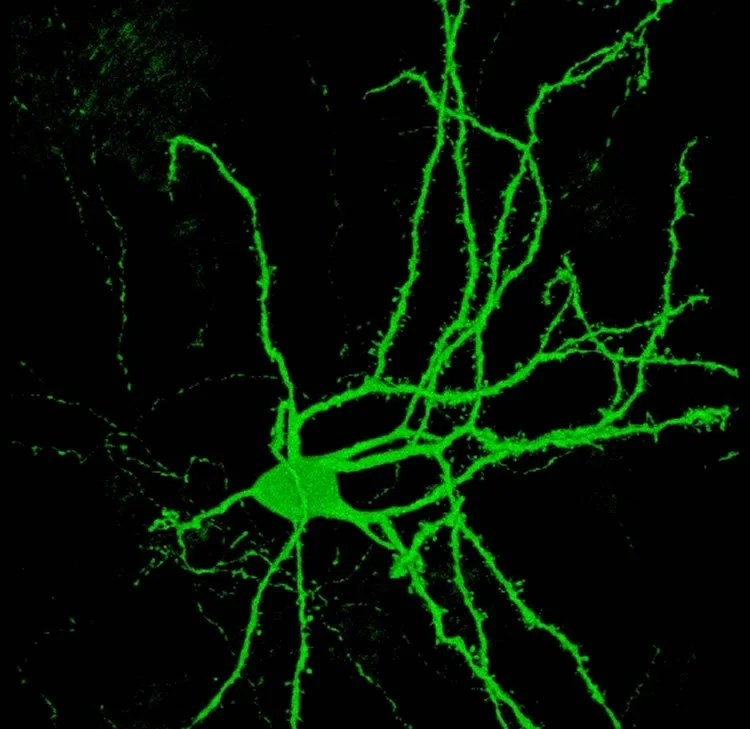 Researchers Identify Population of Neurons Responsible for Alcohol Addiction