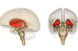 Image shows the location of the striatum in the brain.
