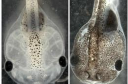 Image shows two tadpoles.