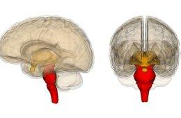 Image shows the brainstem.