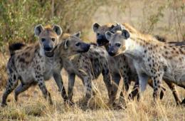 Image shows spotted hyenas.