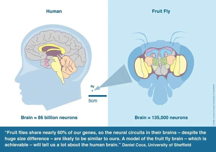 Building A Complete Model Of Fly Brain
