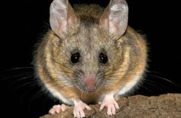 Photo of a mouse.