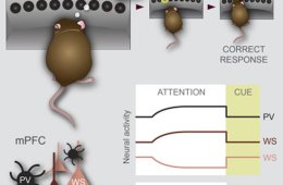 Diagram shows a mouse trying to focus attention and mPFC neurons.