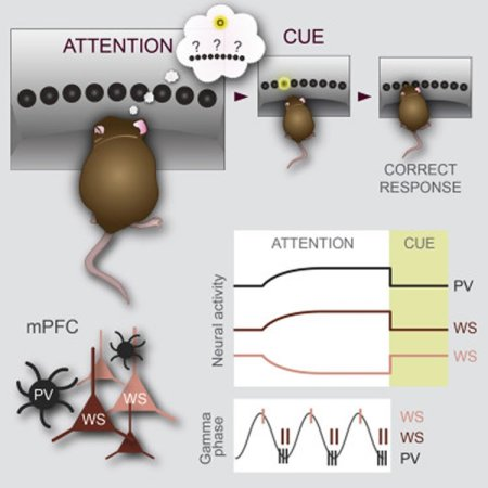 Pay attention manipulating neurons to enhance attention diagram shows a mouse trying to focus attention and mpfc neurons ccuart Image collections