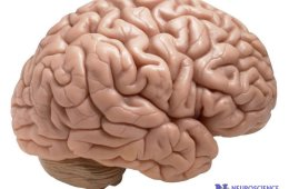 Photo of a brain.