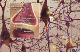Diagram of neurons and synapses.