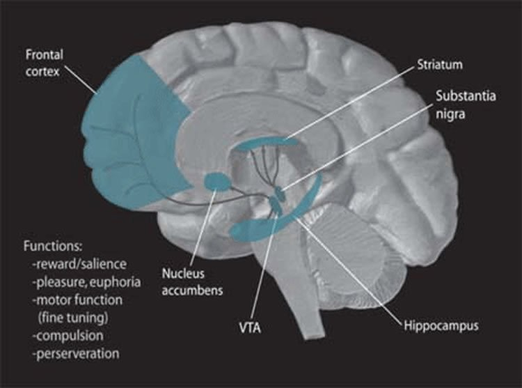 Not so sweet too much sugar during adolescence could alter brains image shows the location of the nucleus accumbens in the brain ccuart Image collections