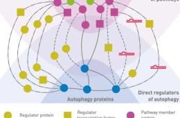 Diagram shows regulators of autophagy.