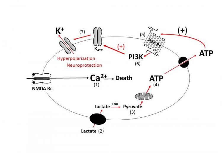 Diagram shows how lactate protects neurons.
