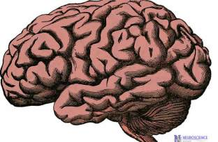 Drawing of a brain.