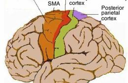Human motor cortex in the brain.