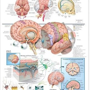 Anatomy-of-the-Brain-Anatomical-Chart-0