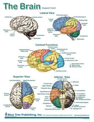 Brain Charts Ibovnathandedecker