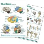 Brain-Anatomical-Chart-Laminated-Card-Neurology-0