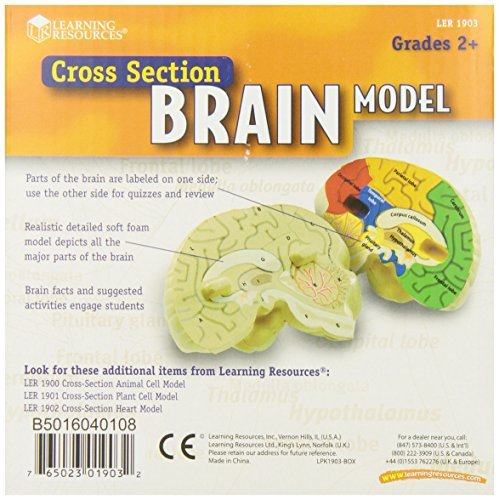 Learning resources cross section human brain model ler1903 ccuart Images