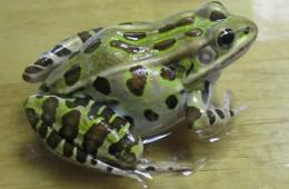 Image shows a leopard frog.